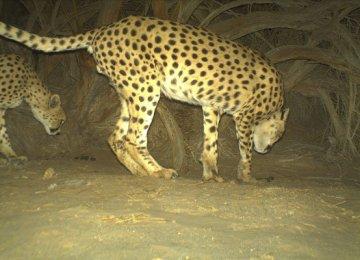 Asiatic Cheetah in Yazd