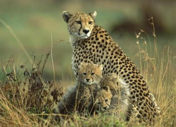Cloning Cheetah Possible