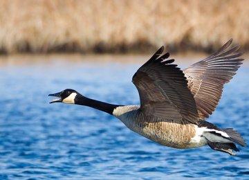 Bird Species Endangered in Gilan