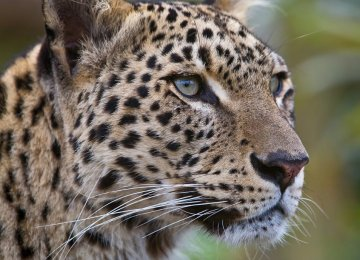 Conserving Persian Leopard