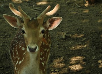 Shifting Fallow Deer to Karkhe 'Wrong Move'