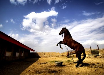 Domestic Breeders Troubled  Over Import of Turkoman Horses