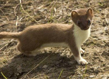 Weasel Exists in Chaharmahal Province