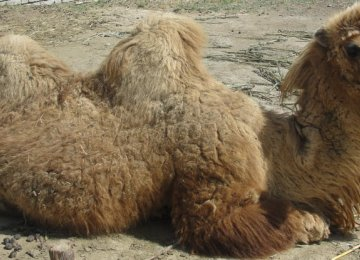 Two-Humped Camel Facing Extinction