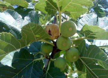Fig Mosaic Virus Looms in Estahban