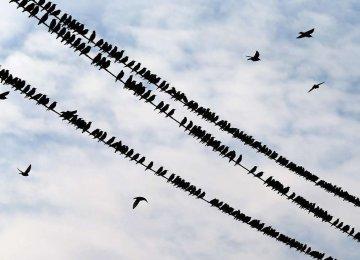 Birds Rush  to Landfills
