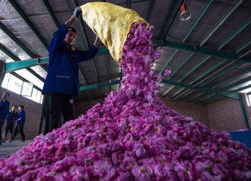 Damask Rose Harvesting Thriving in Kerman