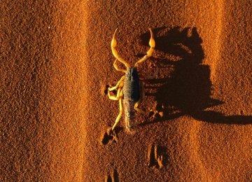 Scorpions of Kashan