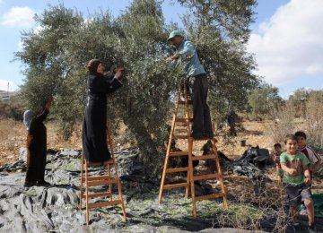 Israeli Wall Devastating  west Bank Olive Harvest