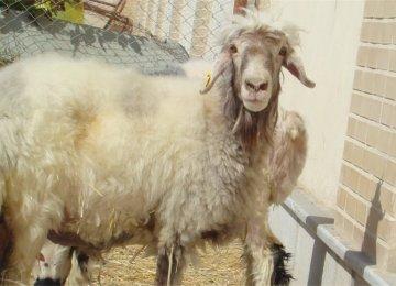 Cloned Ram Doing Well