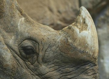 3D Printed Rhino Horn to Save Animal