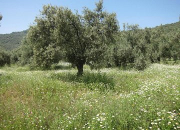 Energy Plants Threaten Turkey Olive Groves