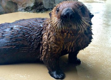Sea Otter Uses Inhaler to Treat Asthma
