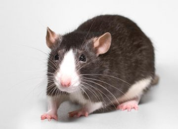 Blind Rats 'See' Again With Compass Implant