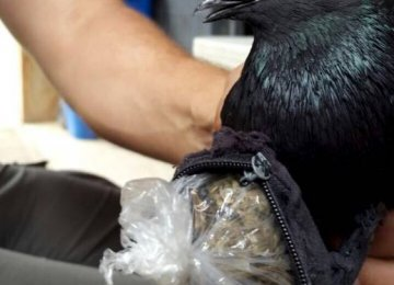 Pigeon Flying Drugs Into Prison Caught