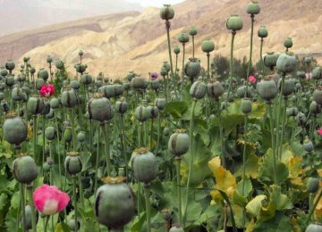 Poppy Fields Destroyed  in Chaharmahal