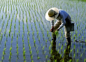 Rice Policy, Price Questioned
