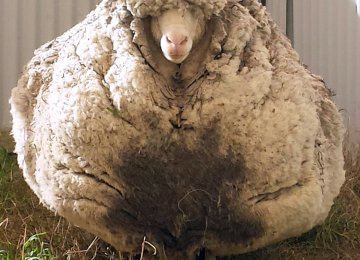 Australian Sheep Sets Woolly Record