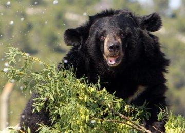 Asian Black Bear's Habitat to Be Protected
