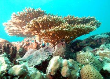Qeshm Corals Losing Battle to Global Warming