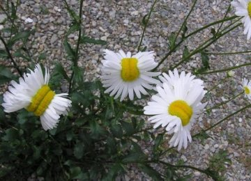 Deformed Daisies Spotted in Fukushima