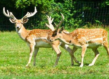 Persian Fallow Deer Population Up 20%