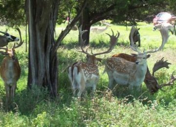 Persian Fallow Deer Forced to Find New Home