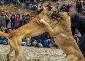 Crackdown on Dog Fighting in Zanjan