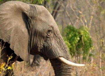 German Tourist Kills Biggest African Elephant