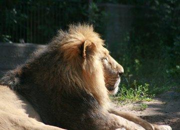 Persian Lion Returning Home