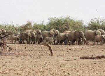 Desert Elephants Face Extinction in 3 Years
