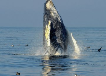 "Humpback Whale Comeback ""Symbol of Hope'"""