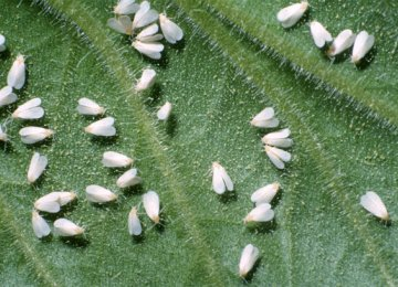 DOE, Municipality at Odds Over Combating Whiteflies