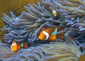 Risk to Great Barrier Reef Worse Than Thought