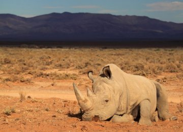 S. Africa Rhino Slaughter Spreading
