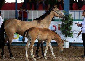 Persian Horses Showcased