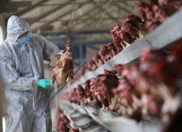 Qom Hardest Hit by Avian Flu