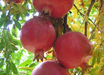 Pomegranate Yield to Hit 900k Tons This Year