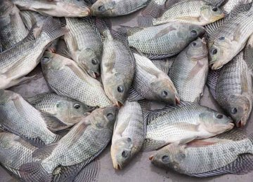 Call for Ban on Tilapia Imports