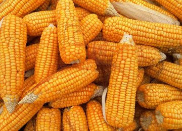 Iran Biggest Importer of Corn From Russia