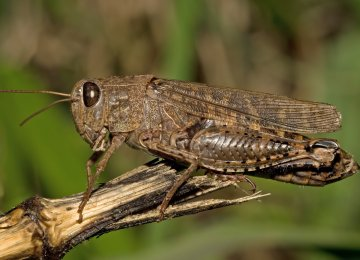 Southern Provinces Ready to Battle Desert Locusts