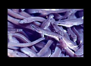 Eels Exported to Four Countries