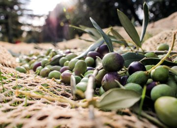 Iran a Major Olive Producer