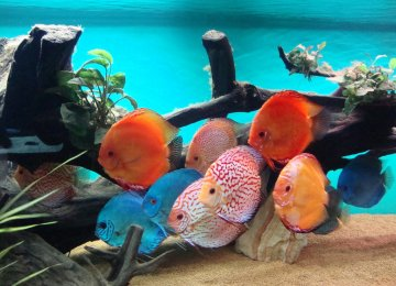 Ornamental Fish Exports Double Last Year