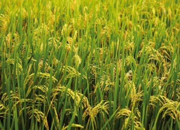 Rice Imports Valid Until July 23