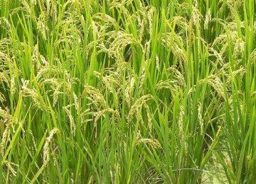 Rice Imports at 760,000 Tons Last Year