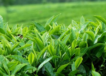 Tea Production Expected to Rise