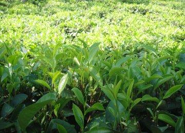 Gov't Tea Purchase Reaches 78,000 Tons