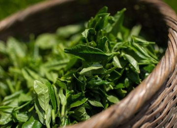 Fresh Tea Leaf Production Estimated at 110,000 Tons