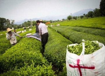Fresh Tea Leaf Production to Exceed 100K Tons